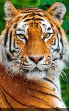 Tiger Lion живые обои