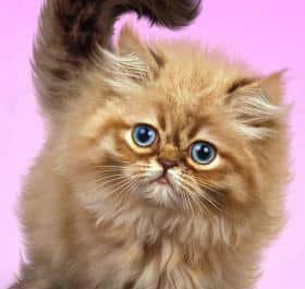 Fluffy Cat живые обои