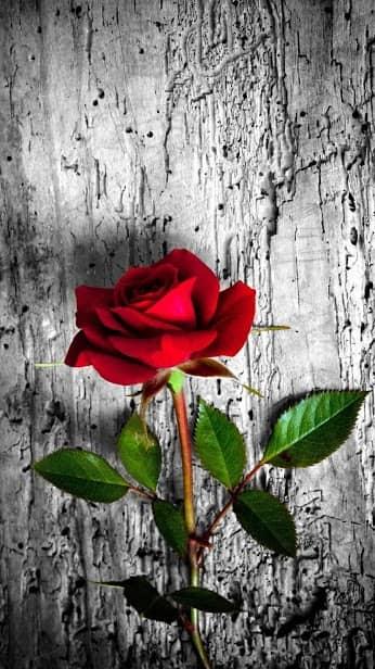 Роза, Цветочная, Цветочный фон: Rosely скриншот 4