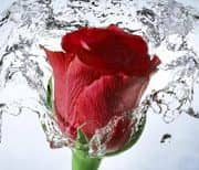 Роза, Цветочная, Цветочный фон: Rosely logo