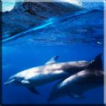 Дельфины со звуком Live Wallpaper