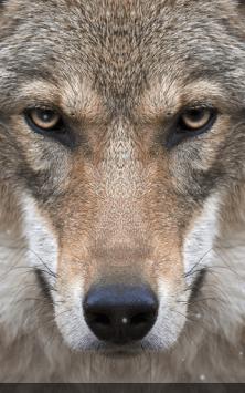 Волки скриншот 1