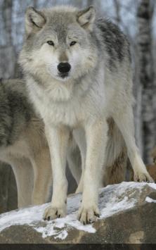 Волки скриншот 2
