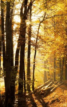 Солнечный Лес (Фоны & Темы) скриншот 2
