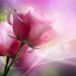 Розовые розы живые обои