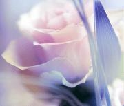 Роза logo