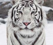 Белый Тигр logo