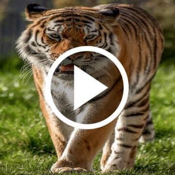 Tiger Video logo