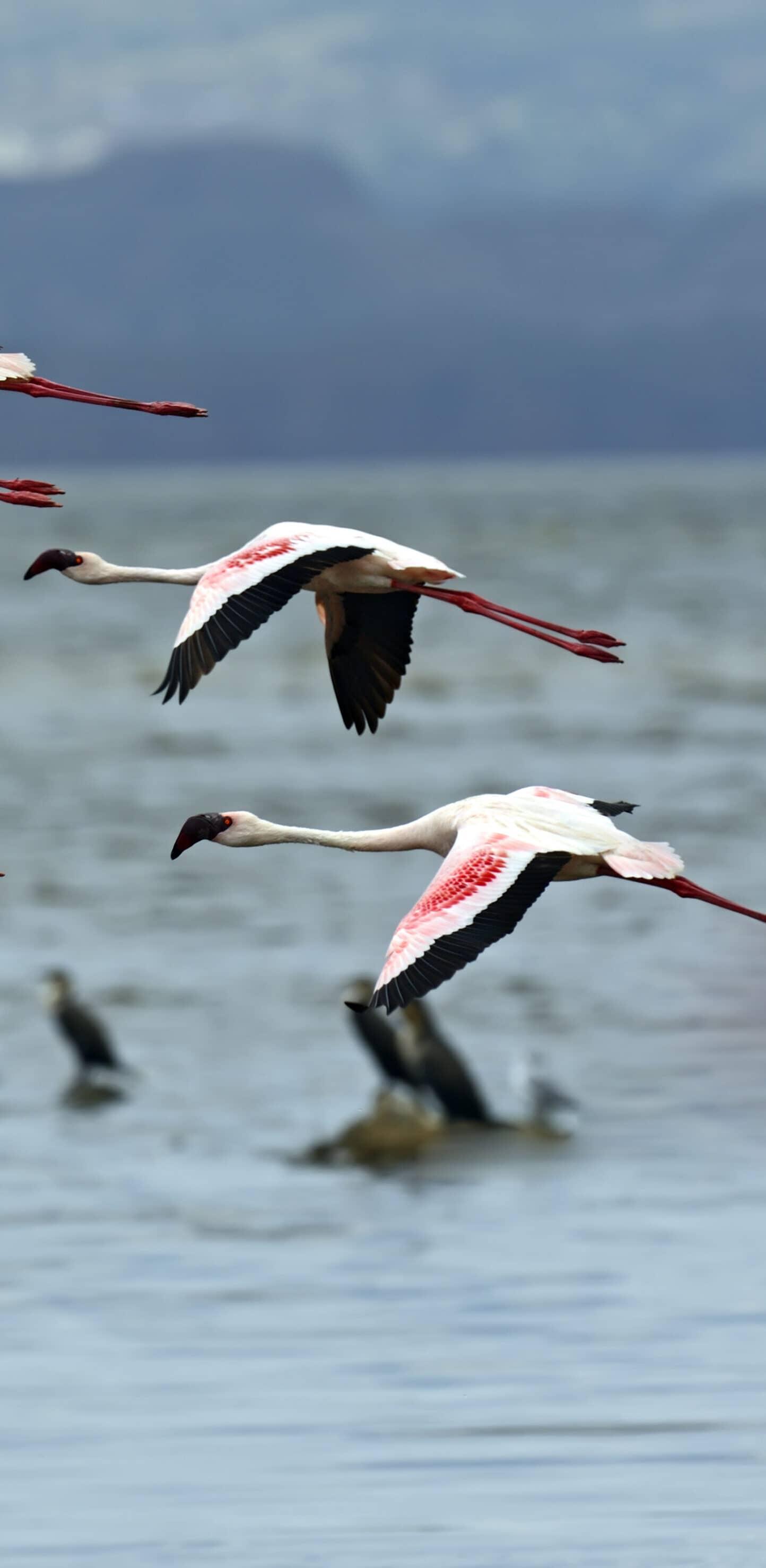 обои фламинго