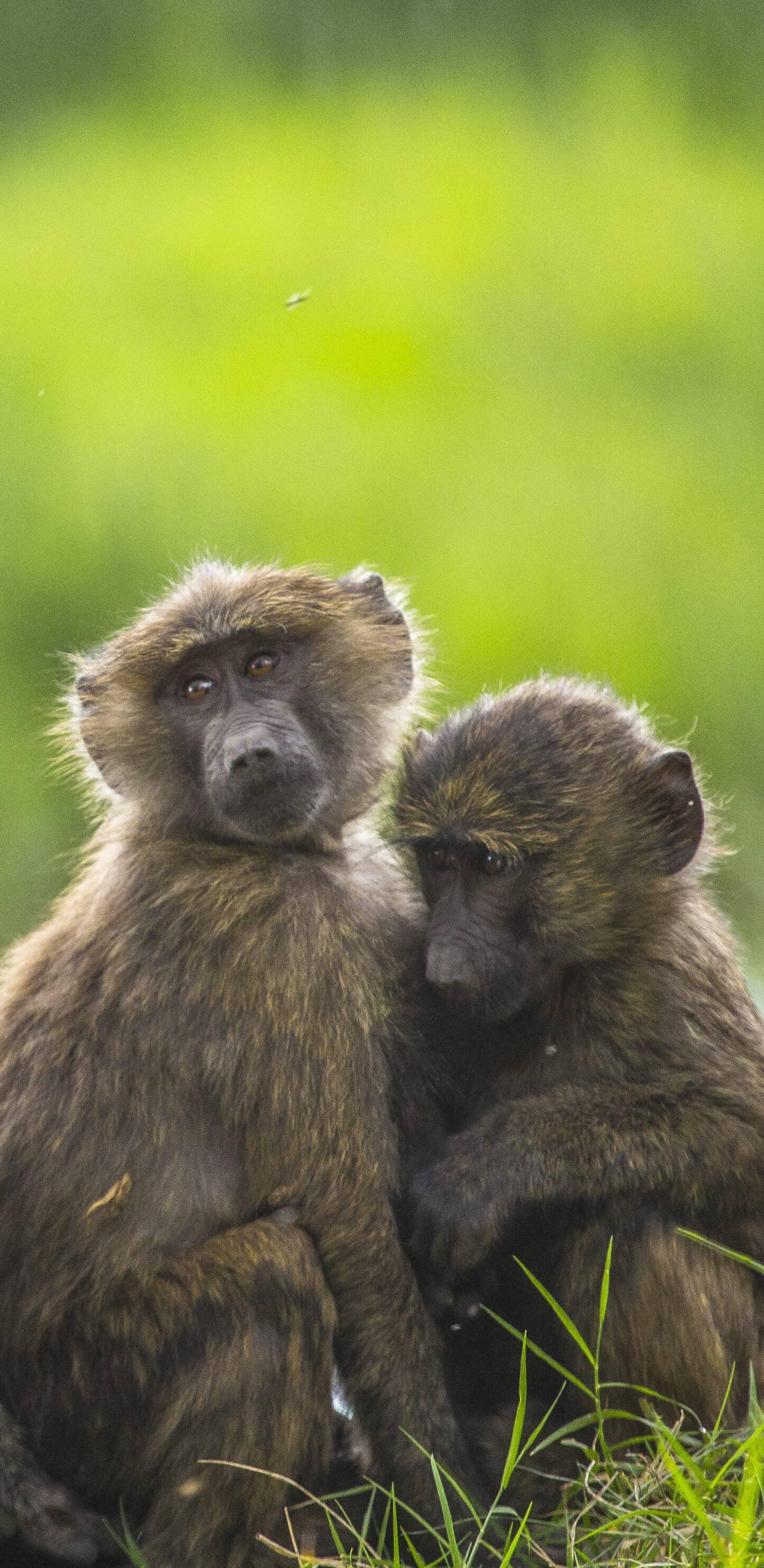 обои обезьяны