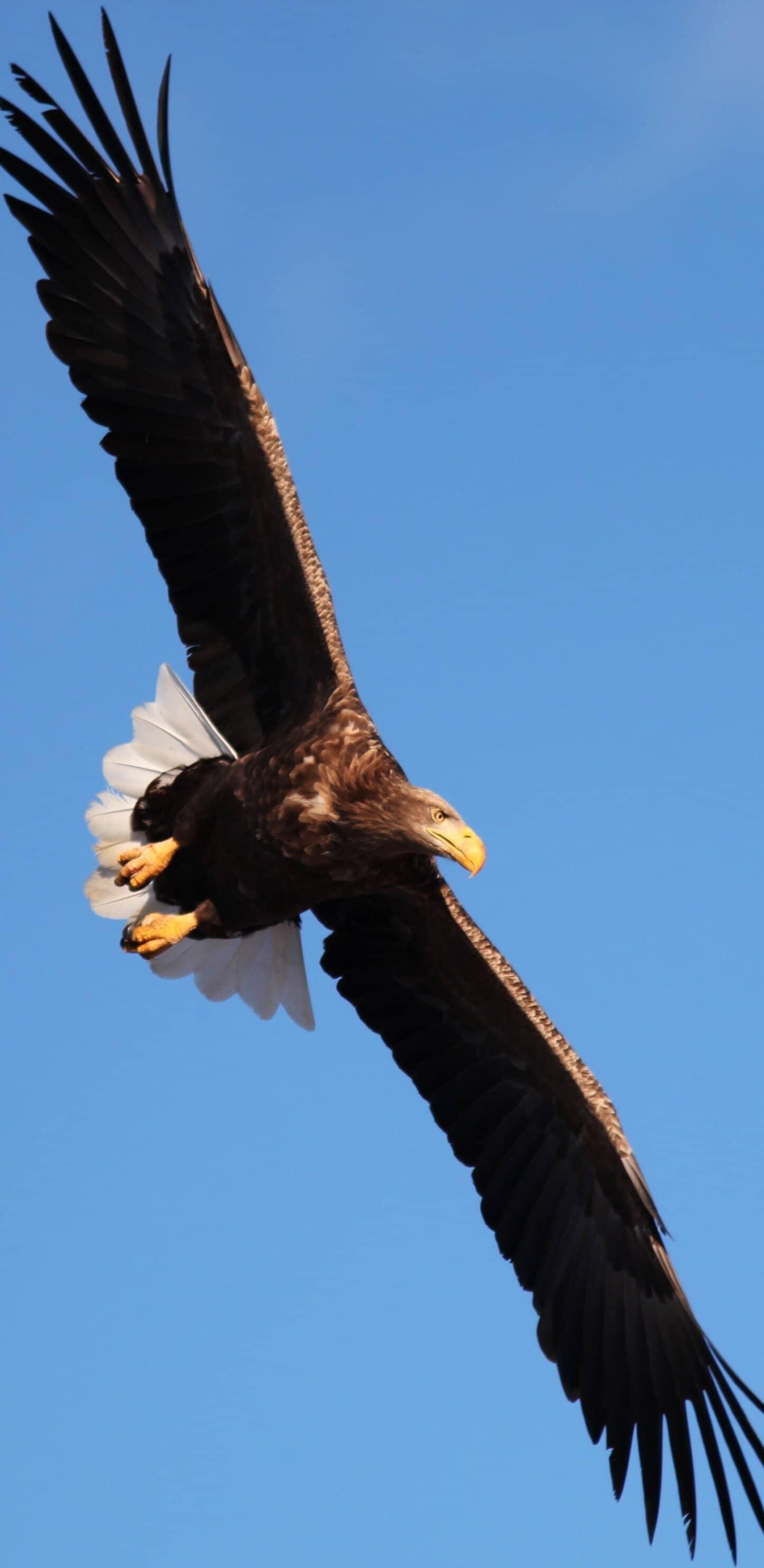 обои орел
