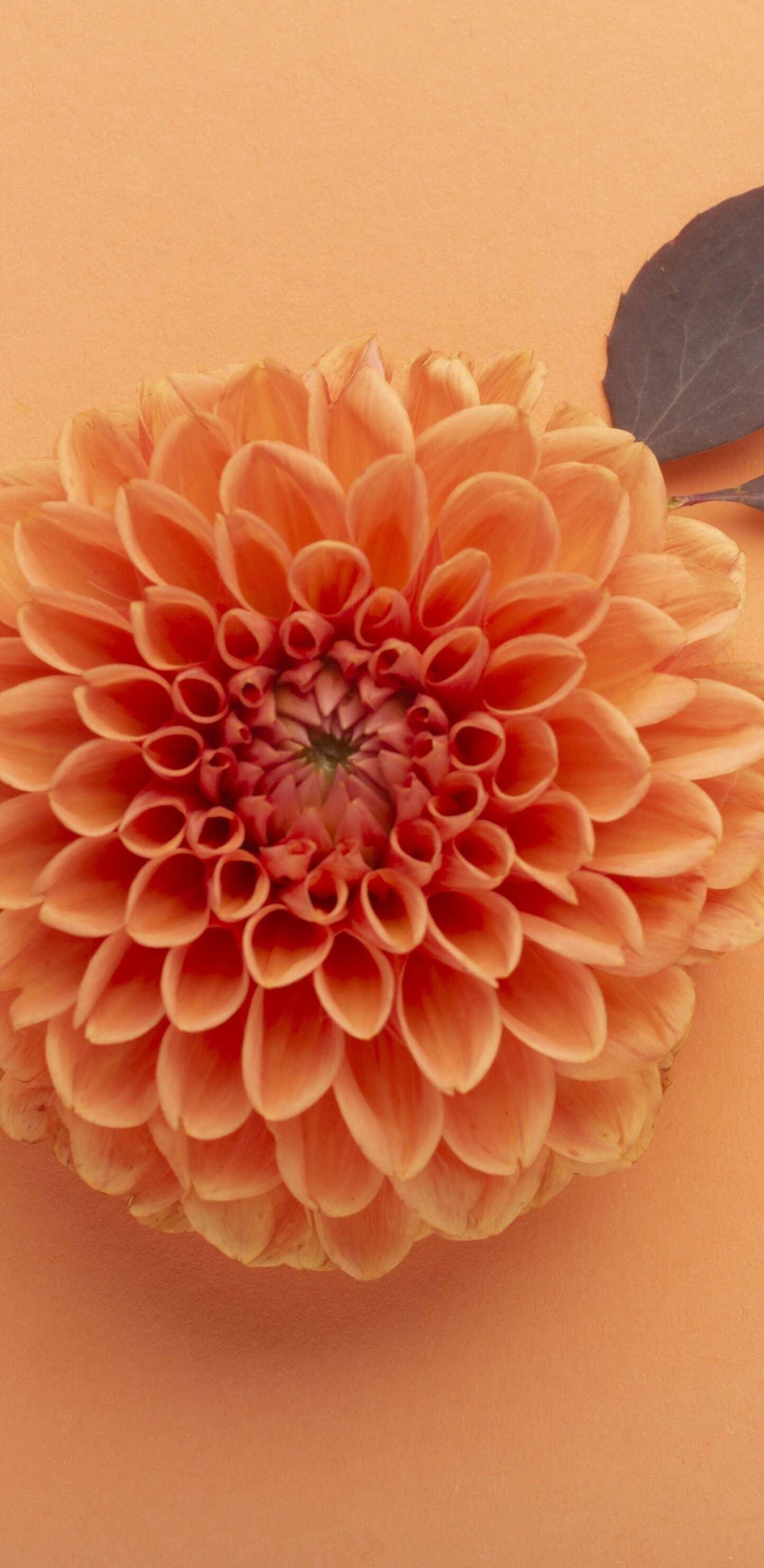 обои оранжевый цветок