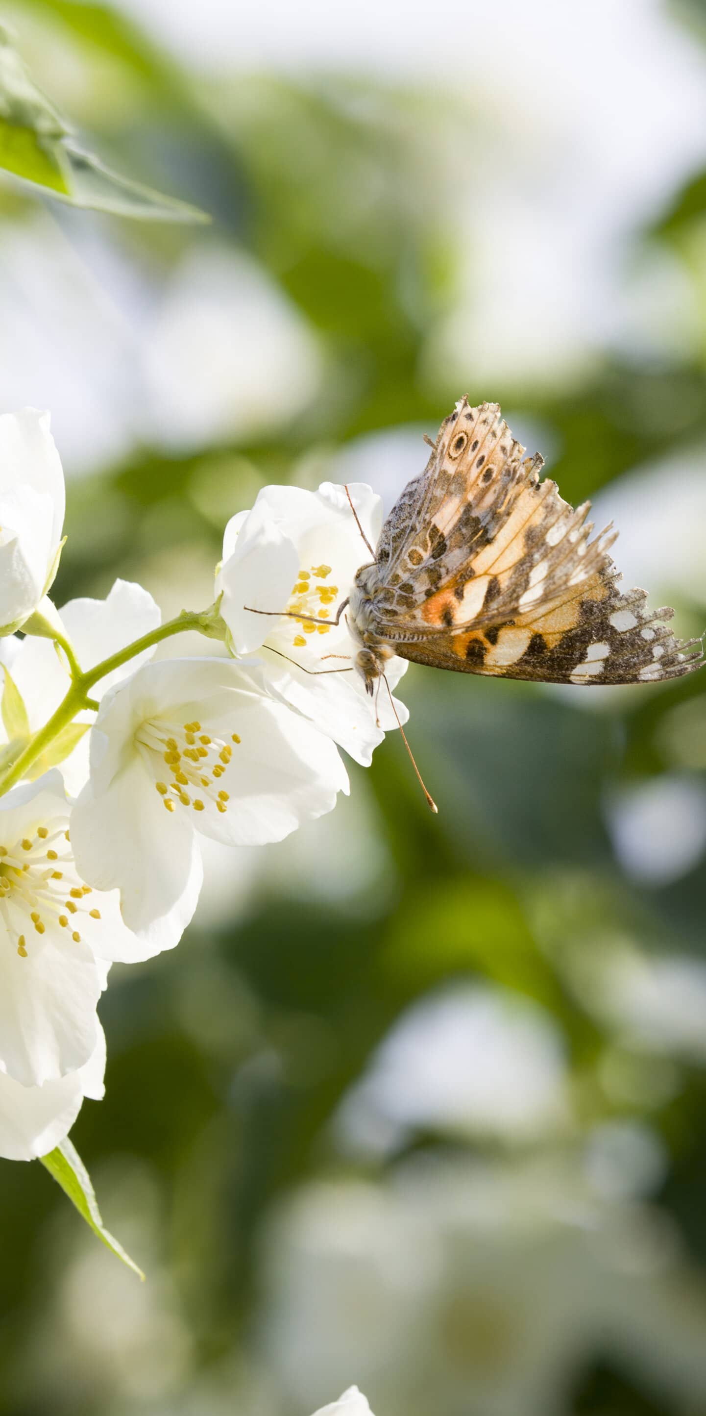 обои жасмин и бабочка