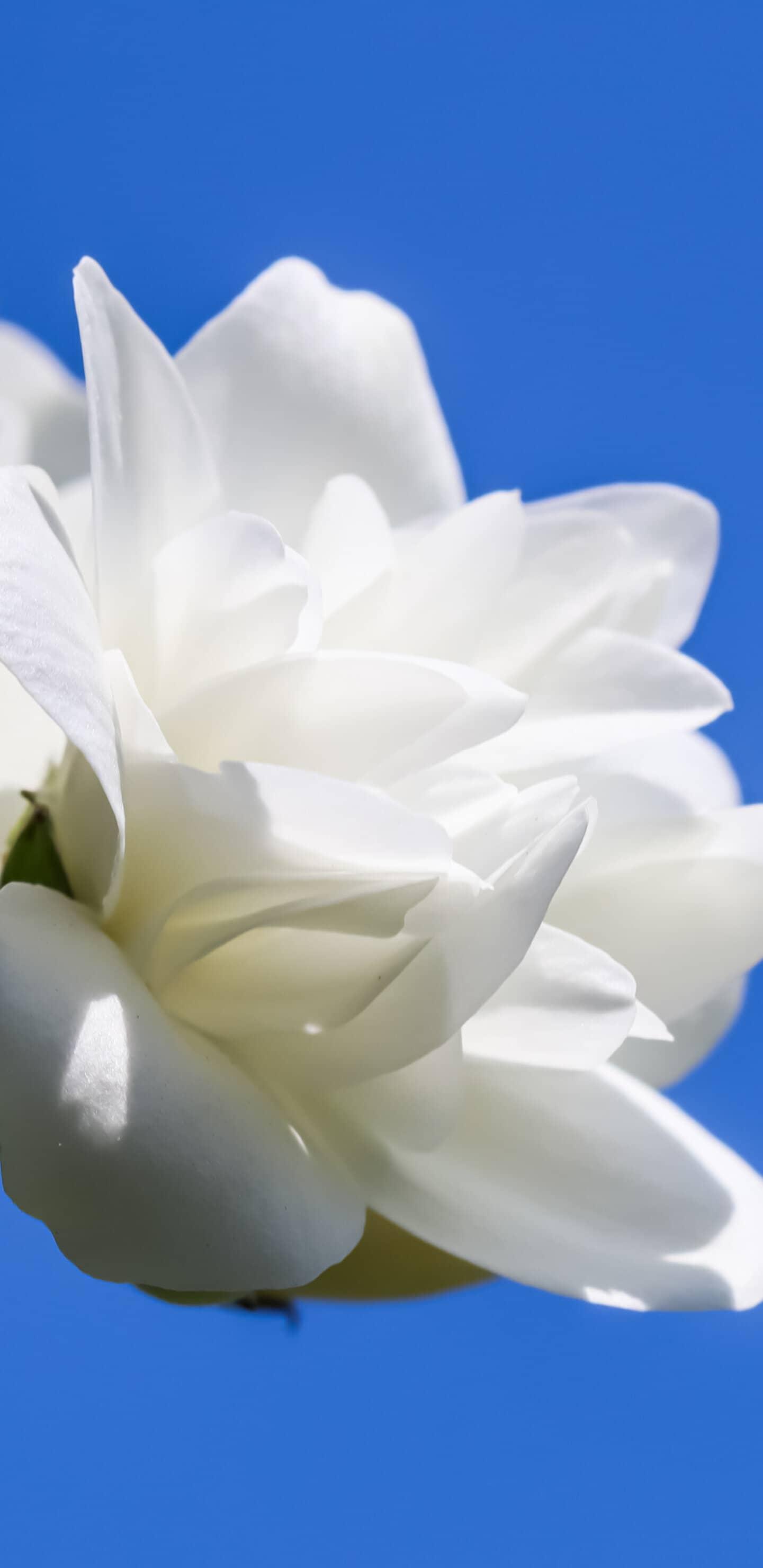 обои цветок жасмина