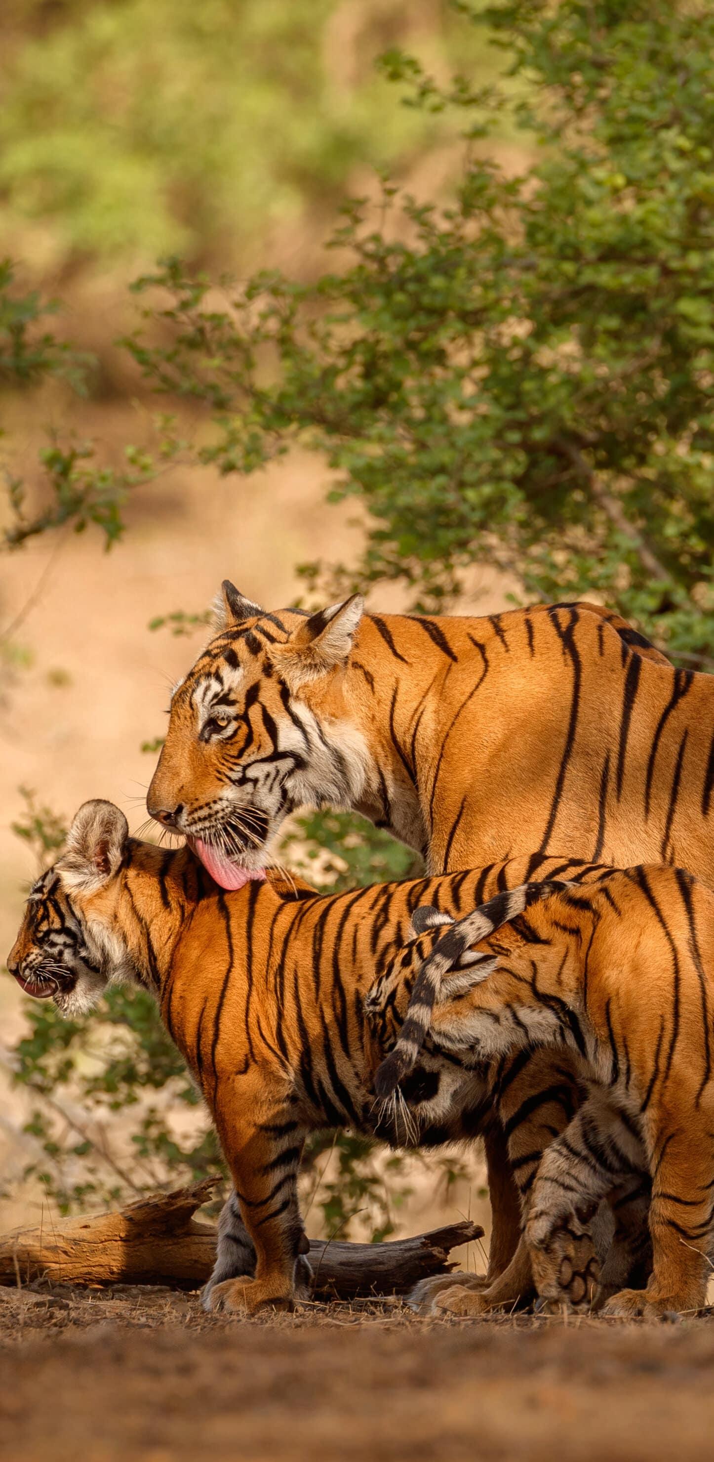 обои бенгальские тигры