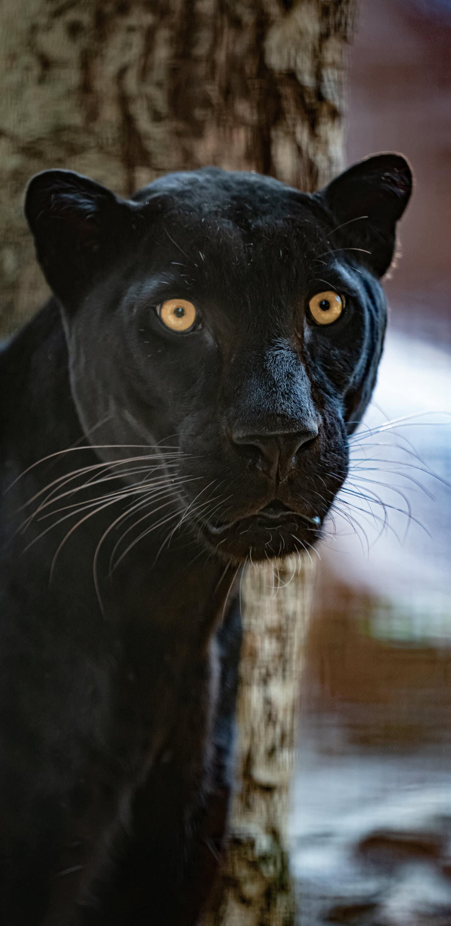 обои черная пантера