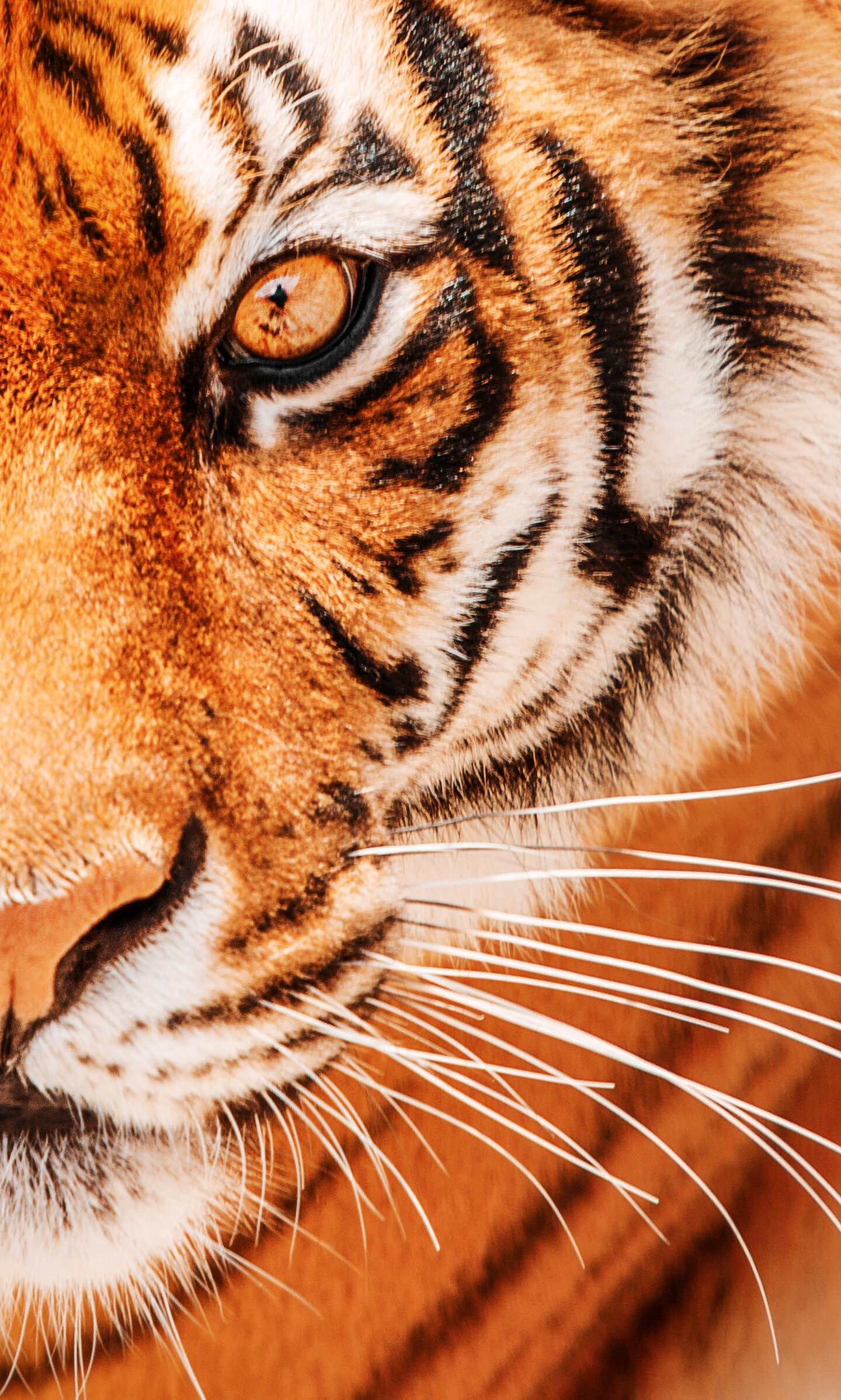 обои амурский тигр